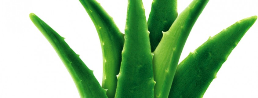 aloe vera carbohydrate polymers In an article of a femenia et al, carbohydrate polymers 39, 109-117 (1999),  also extracts of aloe vera have been described, however said extracts are not.
